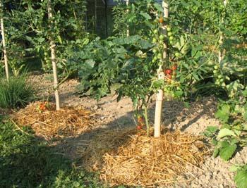 tomatepaille.jpg