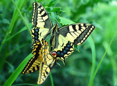 machaon.jpg