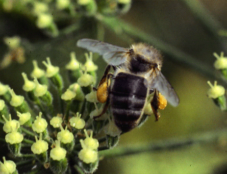 abeille-0004.png