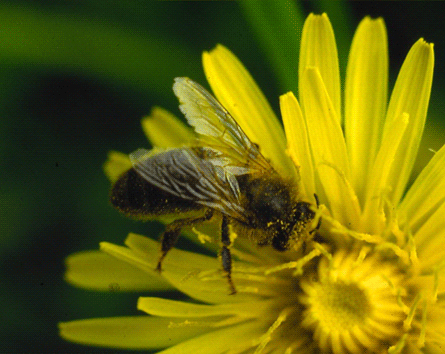abeille-0006.png