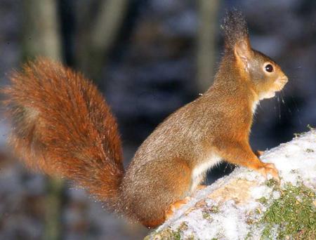 ecureuil-12