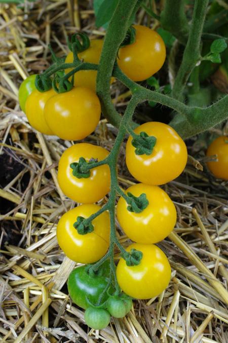 tomatesjaunes