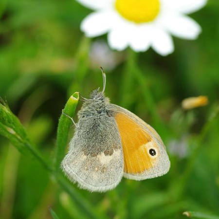 papillon41