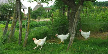 poules3
