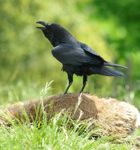 corbeau3