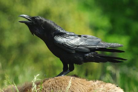 corbeau5