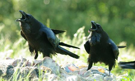 grands-corbeaux