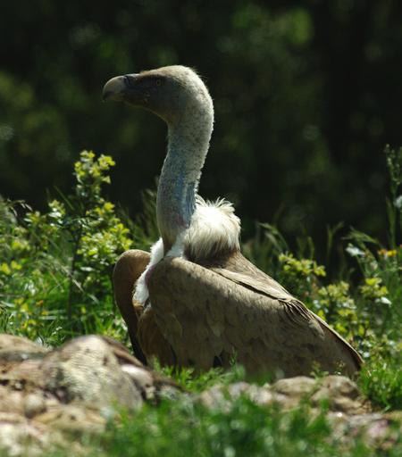 vautour-fauve1