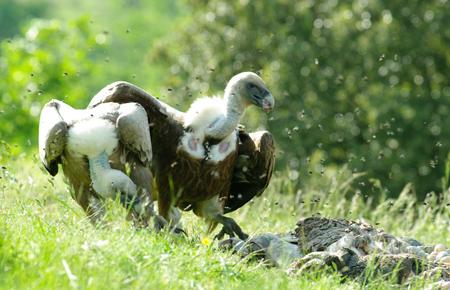 vautours1