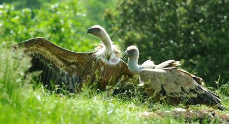 vautours11