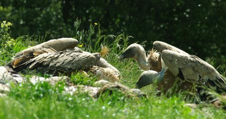 vautours21