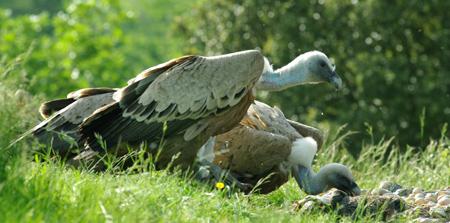 vautours3