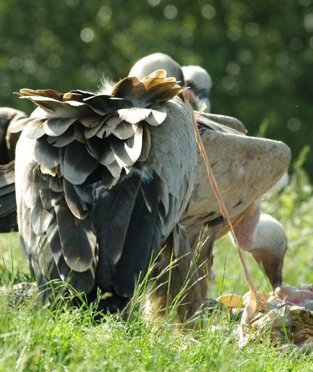 vautours5