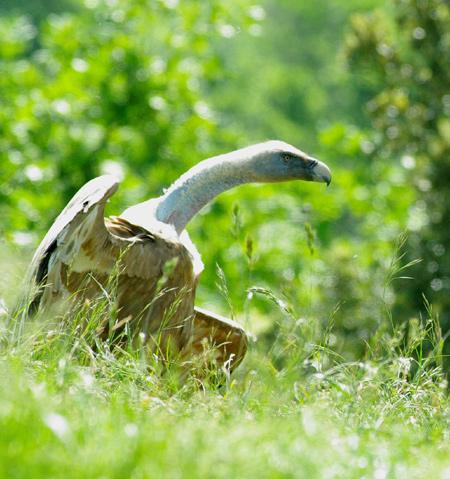 vautours51