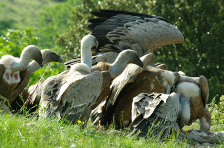 vautours7
