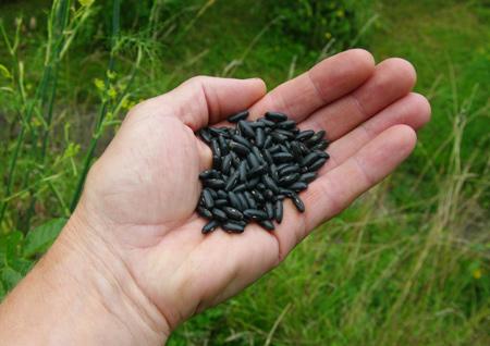 Les haricots quand les semer - Quand semer les haricots verts ...