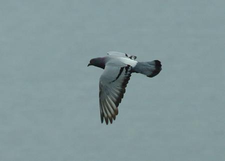 pigeon-biset