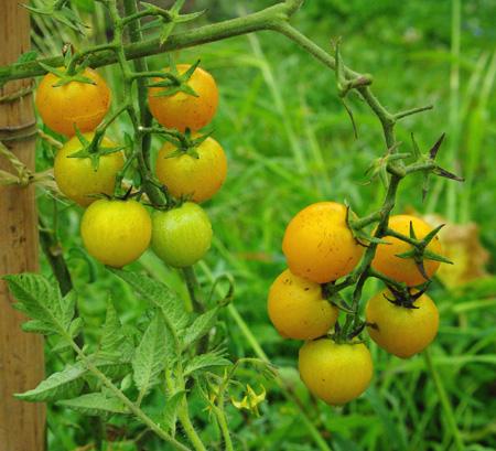 tomatecerisejaune