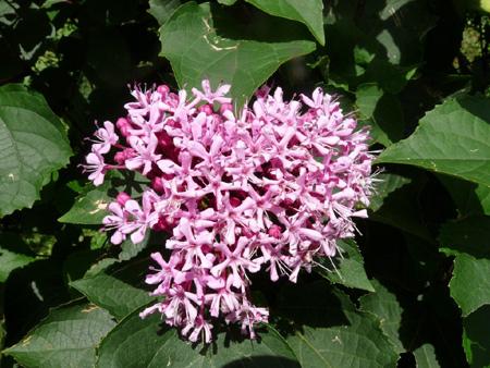 chlerodendron-avant