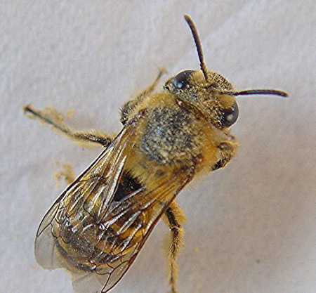 colletes3
