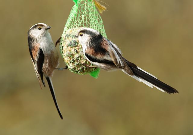 La m sange longue queue - Natagora oiseaux de nos jardins ...