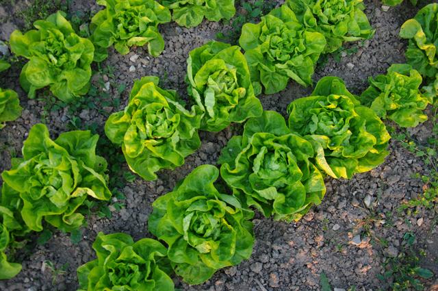 Salade d hiver variete plus duimages a suivre la culture duhiver se compose de salades et - Quelle salade planter maintenant ...