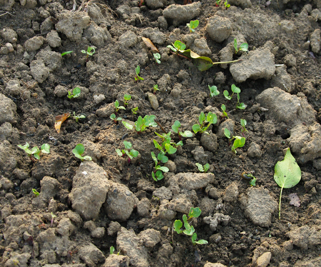 Planter l ail l automne - Quand planter de l ail ...