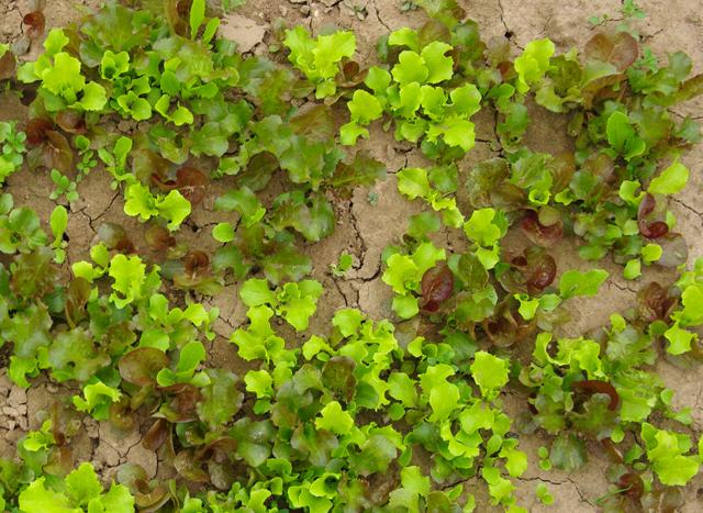 Cultiver les salades - Variete de salade d hiver ...