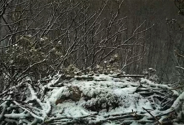 pygargue-couve-sour-la-neige