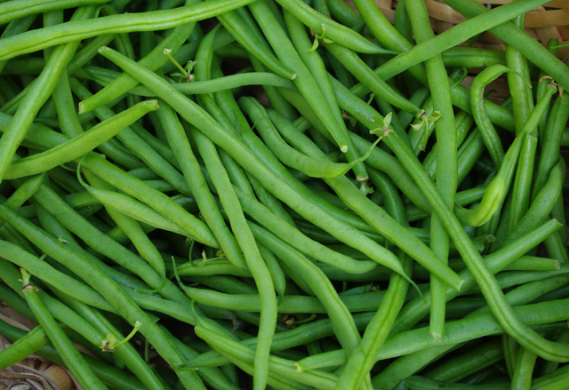 Vari t s anciennes ou modernes - Variete de haricot vert ...